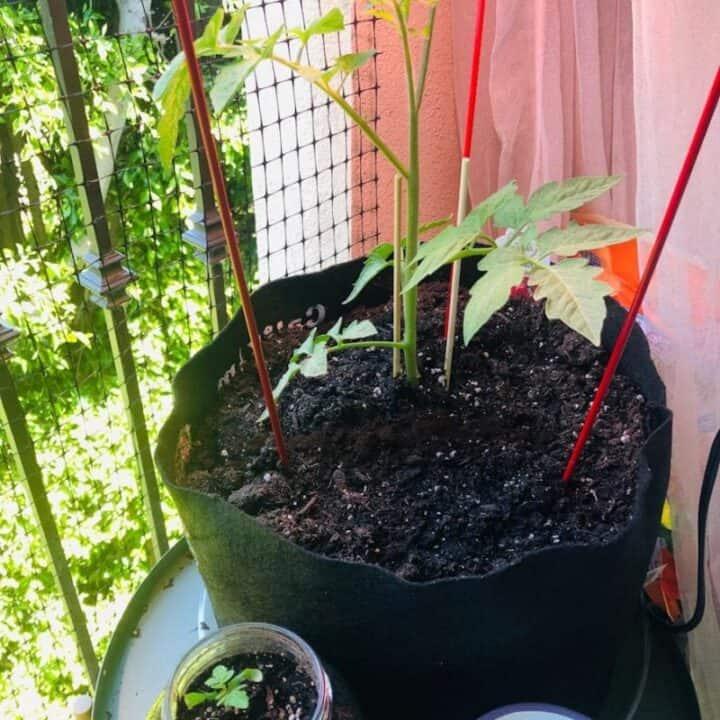 tomato plant in potager garden